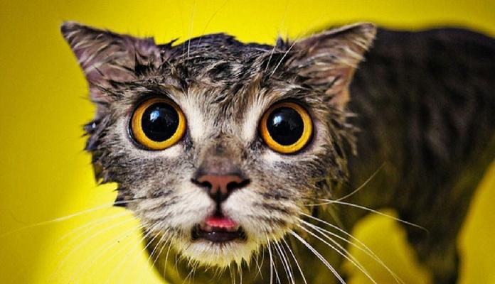 Entenda porque muitos gatos não gostam de tomar banho