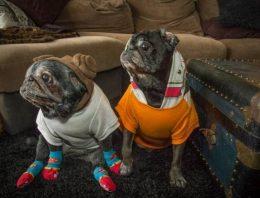 Dona coloca meias em sua Pug. Entenda o motivo: