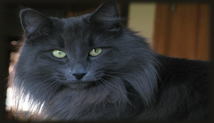Norueguês da floresta – Raça de Gato