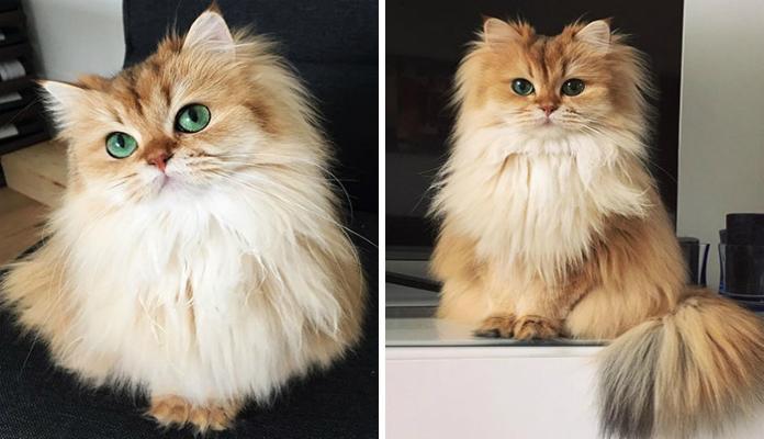 British Longhair – Raças de gato