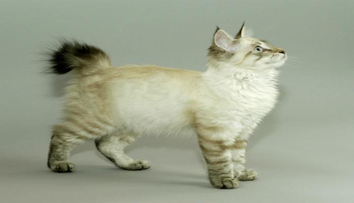 Pixie Bob – Raça de gatos