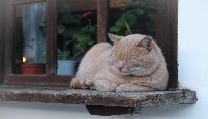 Porque os gatos ronronam?
