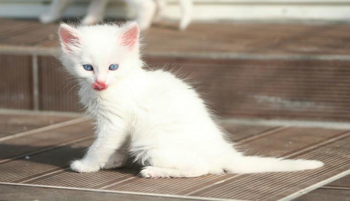 Angorá Turco – Raça de Gatos