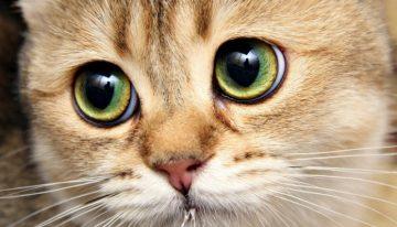 Como enxergam os gatos?