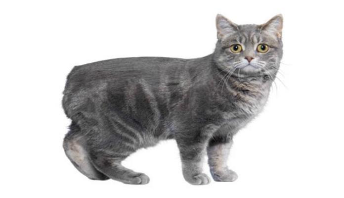 Manx – Raça de Gatos