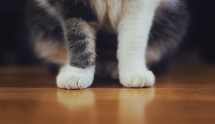 Por que os gatos afiam as unhas dianteiras?