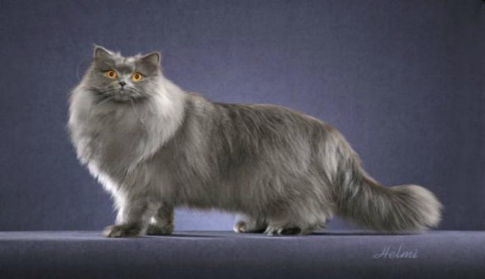 Van turco – Raça de Gatos