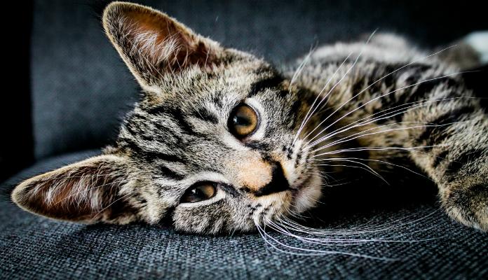 Como limpar pelos de animais do sofá