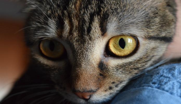 Como reduzir a acumulação de pelos de gato na casa