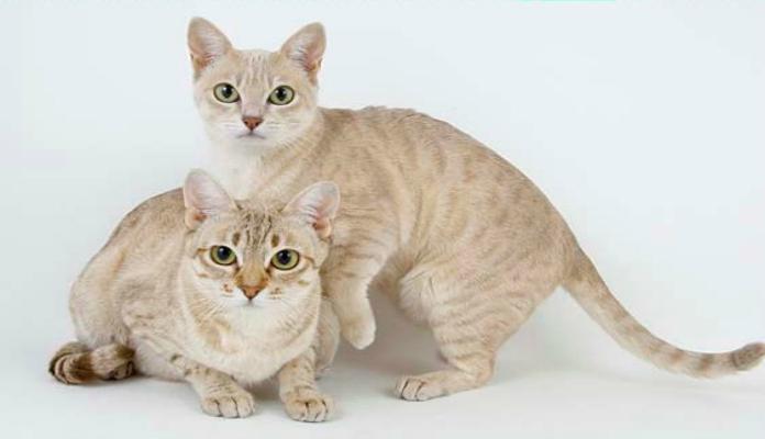 Mist Australiano – Raças de Gatos