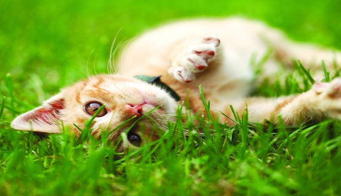 Catnip – o que é e como plantar em casa