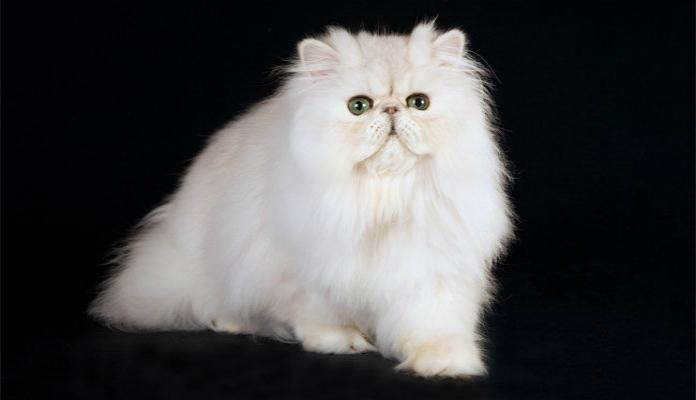Persa Chinchilla – Raças de Gatos