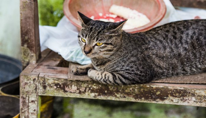 Toxoplasmose – o gato tem culpa?