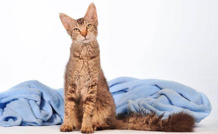 LaPerm – Raça de Gatos