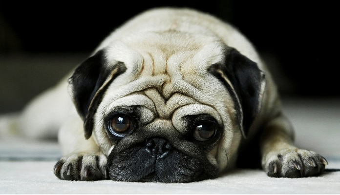 Dia dos namorados: melhores raças de cães para dar de presente
