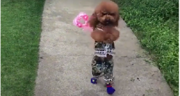 Vídeo viral de cachorro andando em duas patas esconde maus tratos