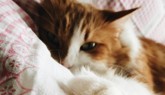 Doença renal crônica em gatos – (DRC)