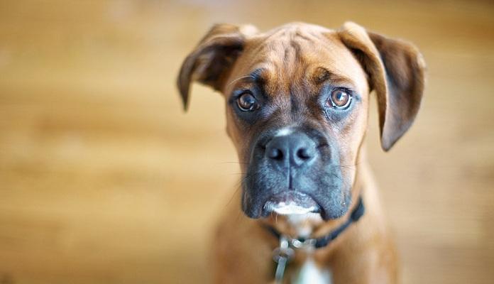 Leishmaniose canina: o que é, como prevenir e tratar