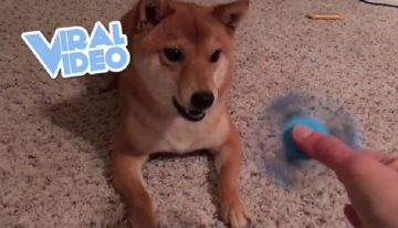 Vídeo viral: veja o cachorro que não gosta de Fidget Spinner