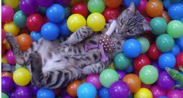 Gato descobre piscina de bolinhas colorida