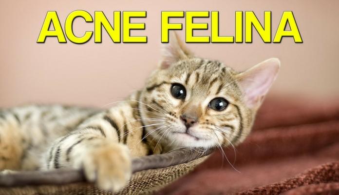 Acne felina: como tratar | Portal dos Cães e Gatos