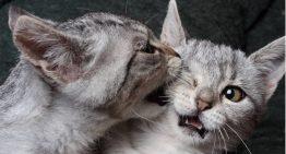 Boas dicas para adaptação entre gatinhos desconhecidos