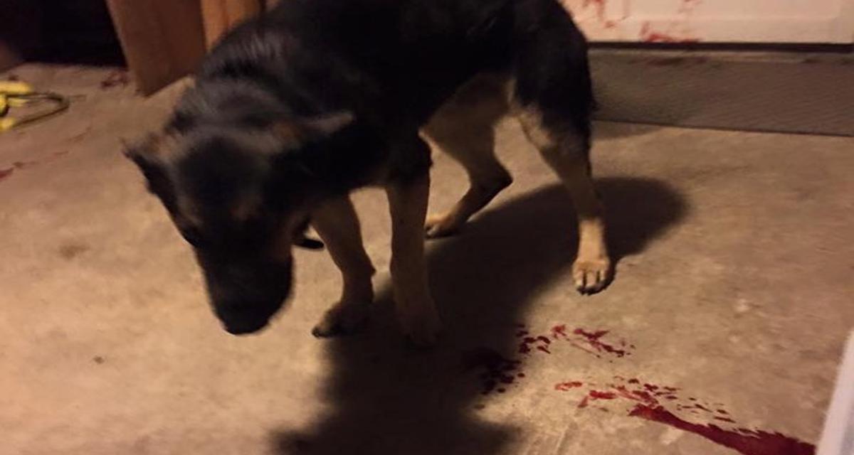 cão baleado