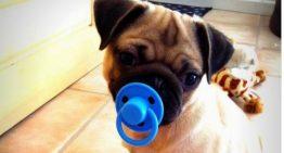 Cachorros que usam chupetas são fofos, porém há grandes riscos de acidentes