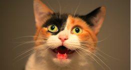Seu gato está miando muito nos últimos dias? Veja 10 motivos