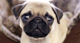 Você quer um Pug? Saiba como escolher um criador de boa procedência.