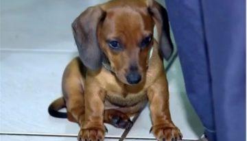 Um cachorro da raça dachshund é morto ao tentar salvar dono de ataque de Pit Bull em SP