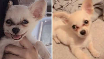 Chihuahua de 3 meses foi encontrado ferido e com um bilhete em aeroporto