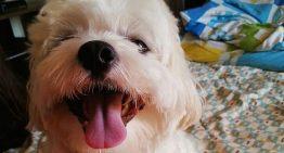 Enforcado com coleira, mais um cãozinho Shih Tzu morre em pet shop