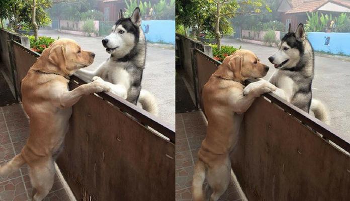 Cão foge de casa para encontrar o seu melhor amigo
