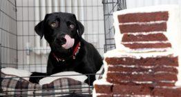 Labradora come bolo de casamento no dia da festa