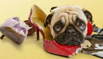 Como fazer seu cachorro parar de destruir objetos