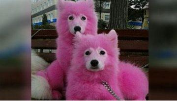Cães tingidos de rosa p/ ganhar dinheiro com turistas