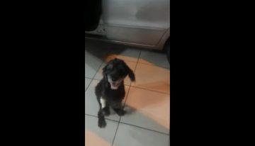 Cão com doença genética surpreende os donos ao andar sobre duas patas