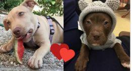 18 fotos provam que filhotes de Pit Bull são criaturas super perigosas
