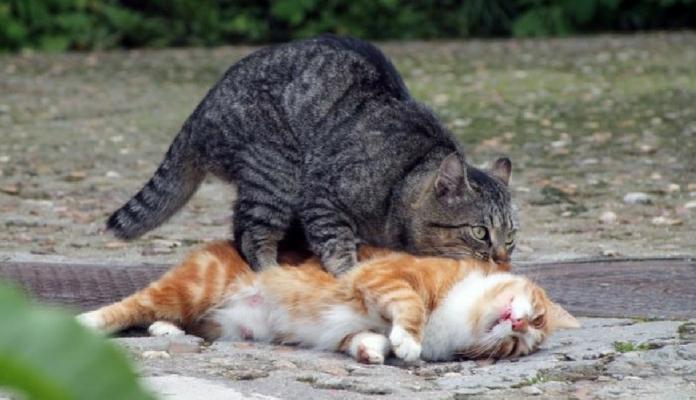 Porque os gatos fazem tanto barulho no momento em que cruzam?