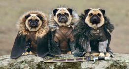 Game of Thrones na versão Pugs – Portal dos Cães e Gatos
