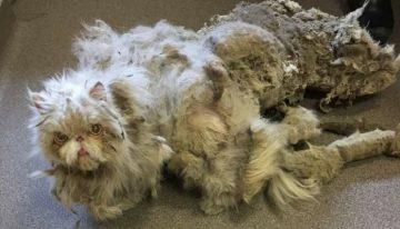 Gato persa fica IRRECONHECÍVEL após ser resgatado