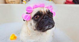 Por que os cães ficam tão agitados depois de tomar banho?