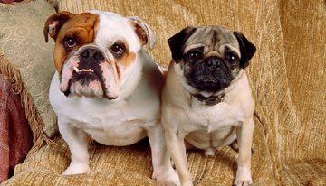 Você sabia que os cães braquicefálicos sofrem mais com a gripe canina?