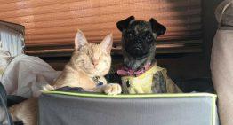Gato cego torna-se anjo da guarda de um Pug c/ necessidades especiais
