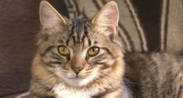Gato hermafrodita espera por cirurgia para definir sexo