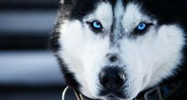 ONGs culpam 'Game of Thrones' pelo aumento no abandono de Husky