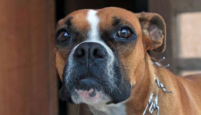 Após deixar cão para eutanásia, dona o encontra para adoção na internet