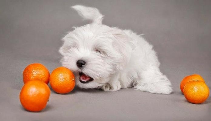 Frutas cítricas são proibidas para cães: mito ou verdade?