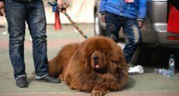 """Justiça ordena retirada de cordas vocais de cães por """"latirem demais"""""""